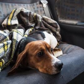 cachorro da beagle usada para testes