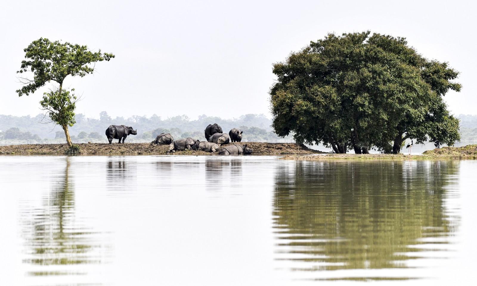 Rinocerontes em risco de extinção morrem durante inundação na Índia