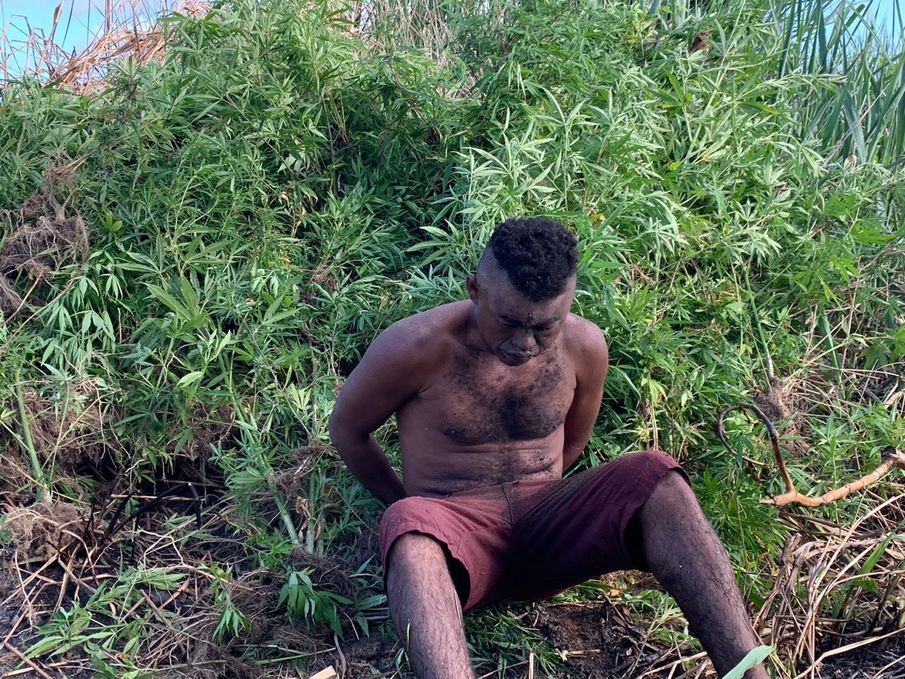Polícia erradica cinco mil pés de maconha em Abaré