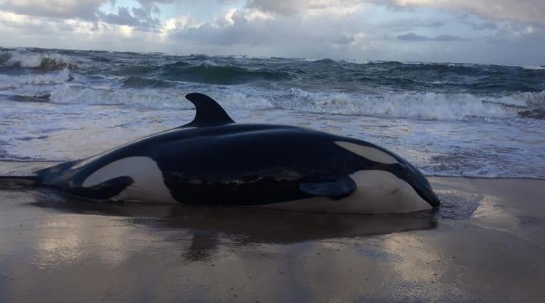 Baleia orca é encontrada encalhada em praia de Camaçari